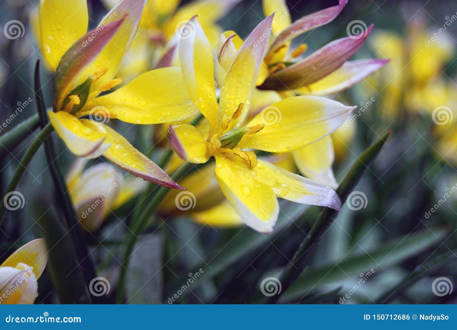 Empfindliche gelbe Blumen am regnerischen Tag