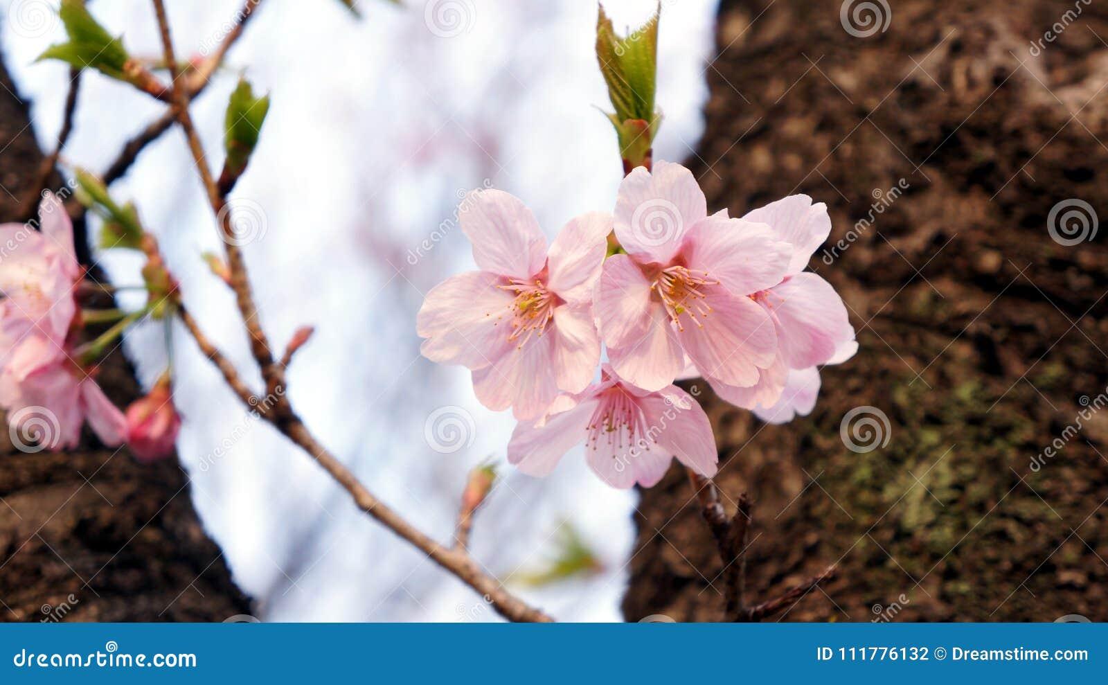 Empfindliche Kirschblüte mit Blättern