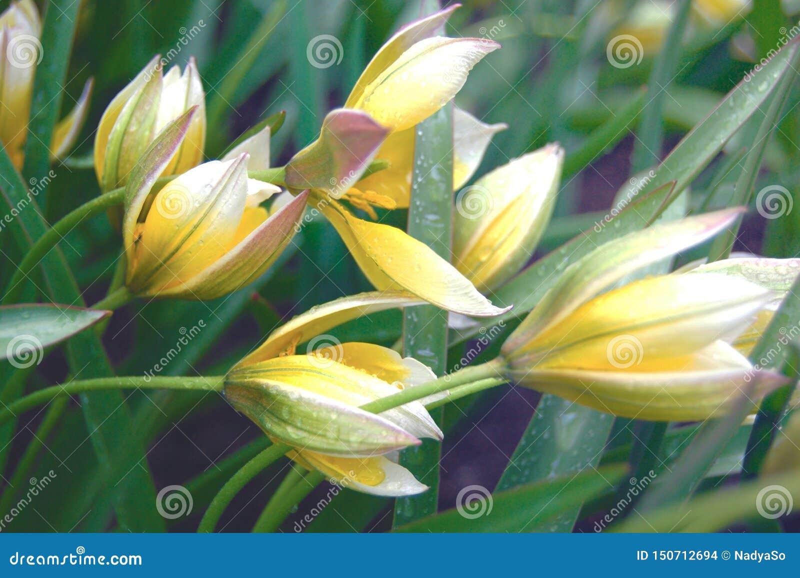 Empfindliche Tulipa tarda Blumen im regnerischen Wetter