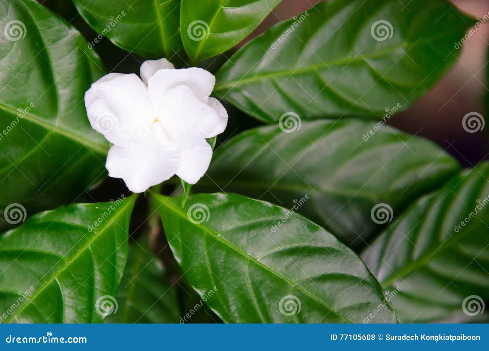 Empfindlicher Jasmin Blüht Mit Blatt Im Garten Stockfoto Bild Von