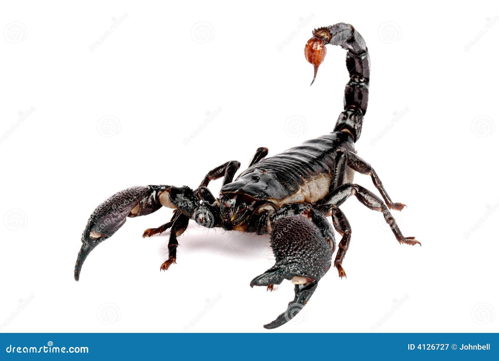 Emporer Scorpion (Pandinus imperator)