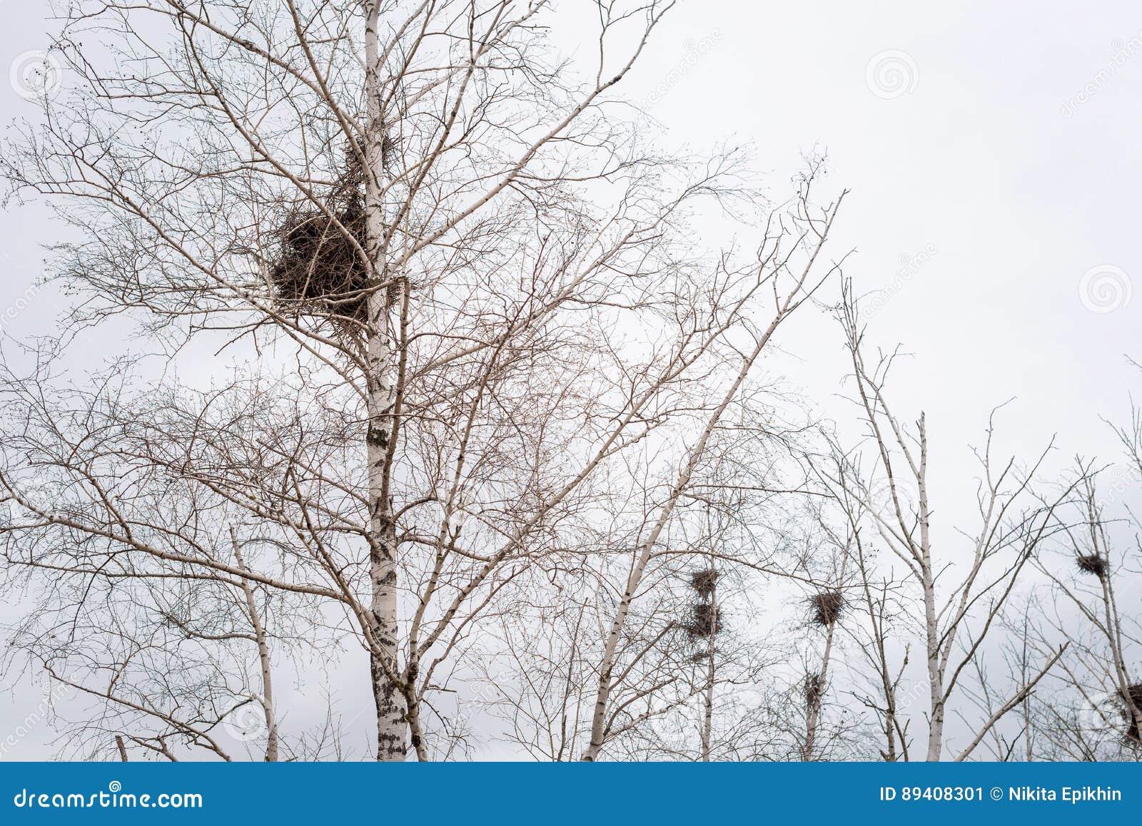 Empty bird`s nest in branches of birch tree in March