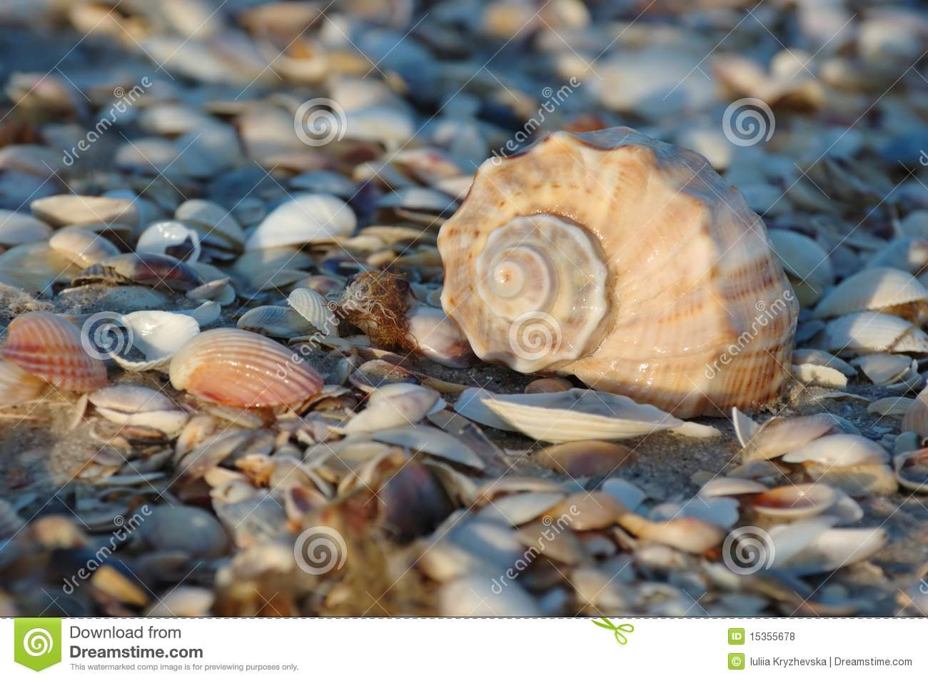 Seashell Of Marine Mollusc Rapana Venosa Stock Photography - Image ...