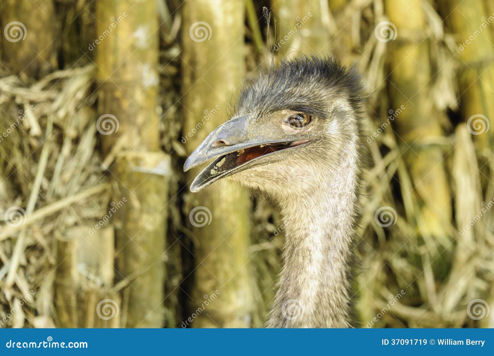 Download Emu obraz stock. Obraz złożonej z przyroda, portret, zbliżenie - 37091719