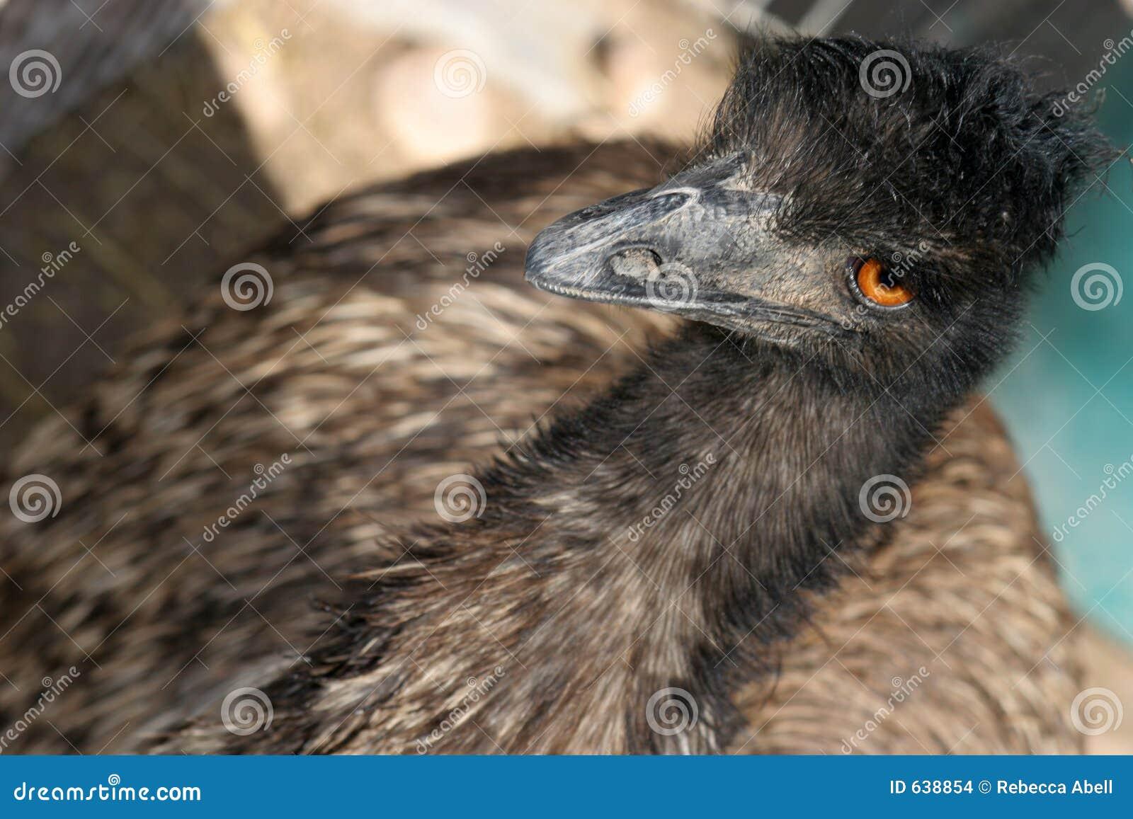 Download Emu стоковое фото. изображение насчитывающей биографической - 638854