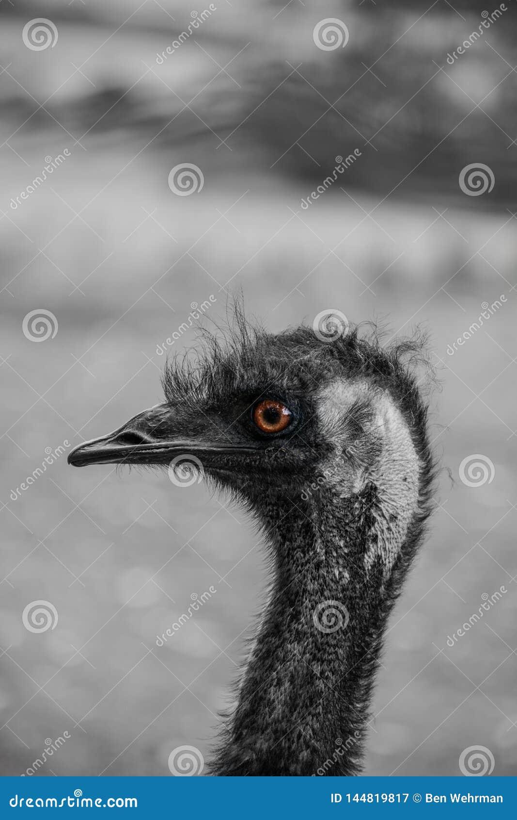 Emu in the Australian Outback