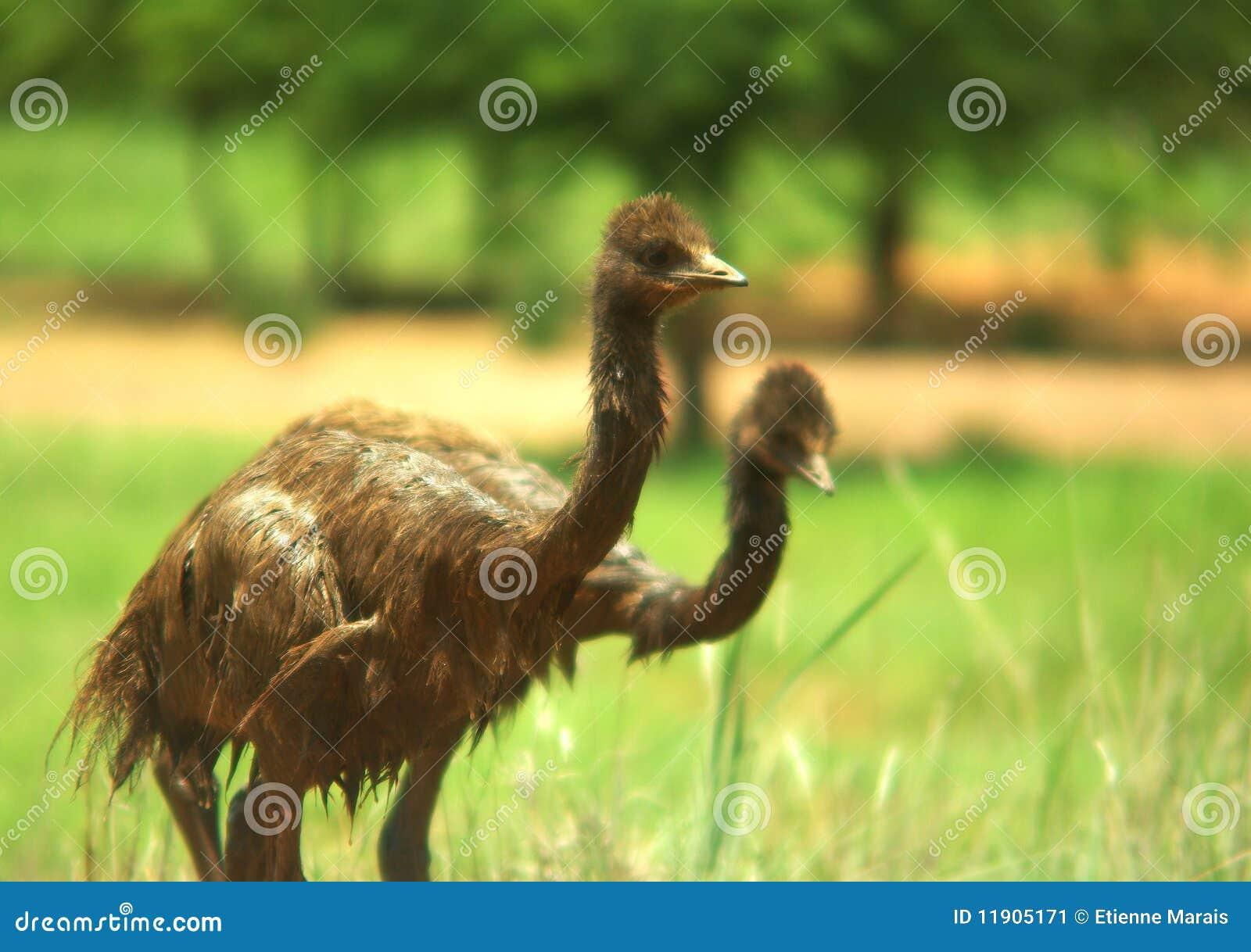 Emu de chéri