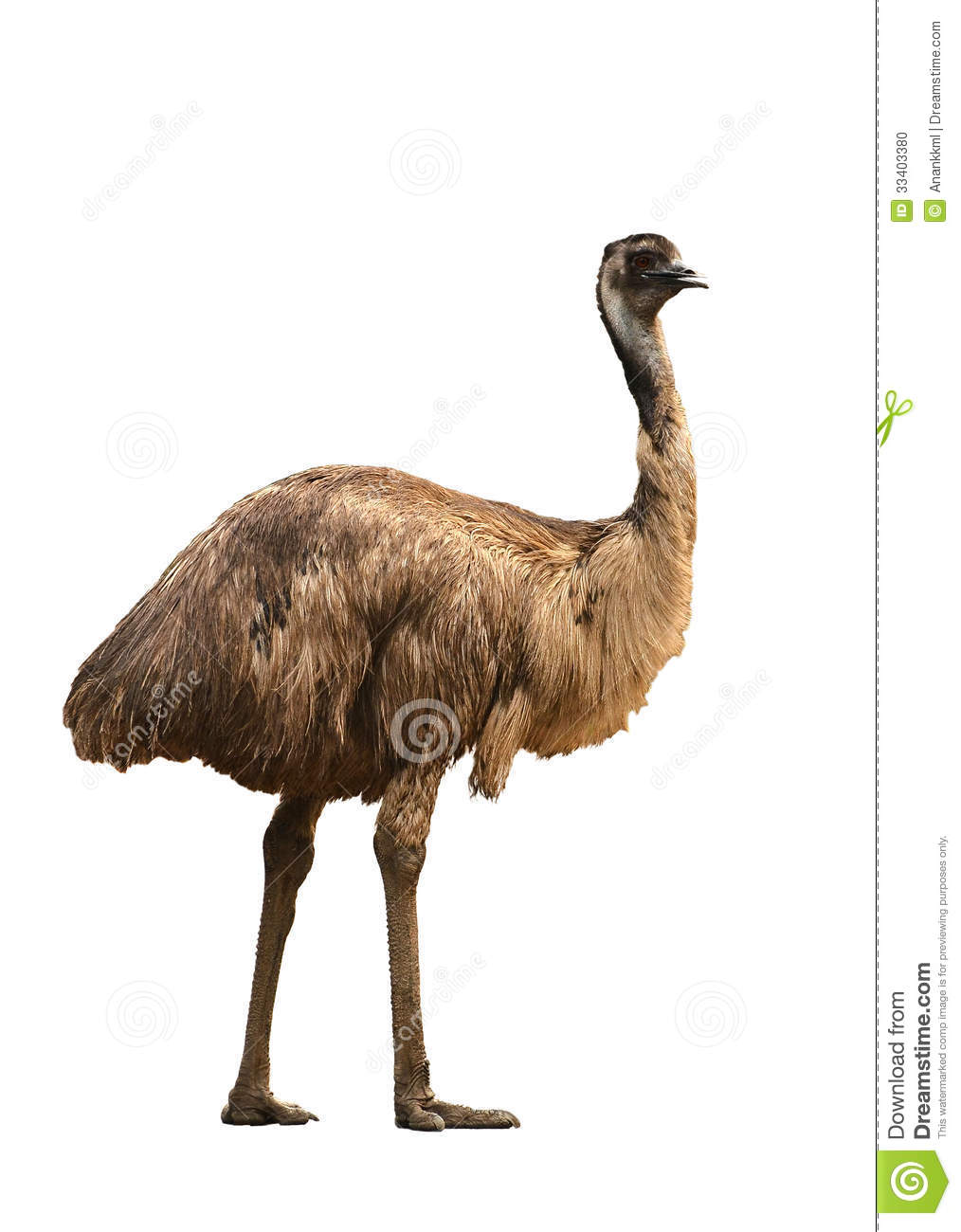 Emu Isolated On White Background Stock Photo - Image: 33403380