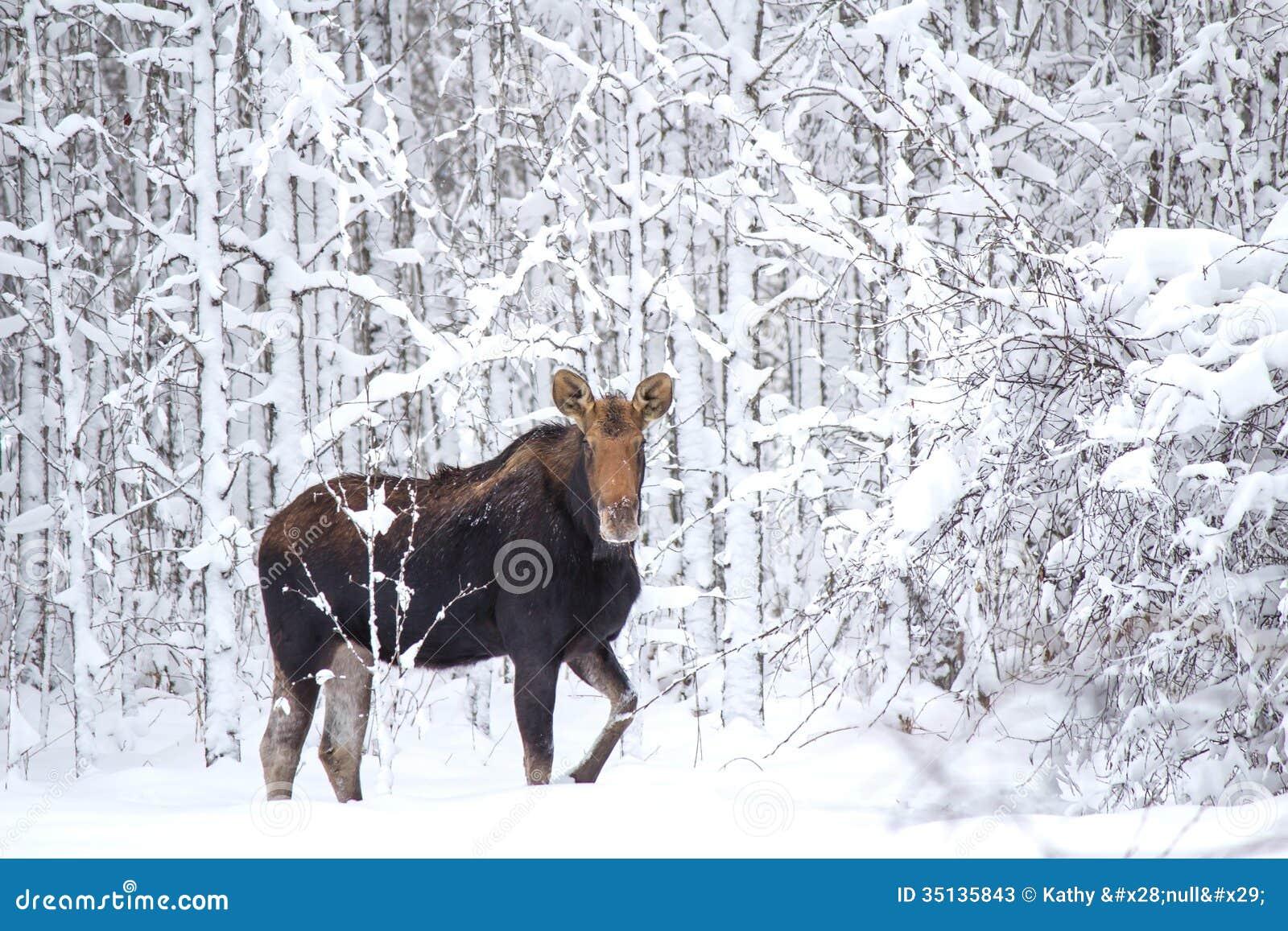 En älg i skogen