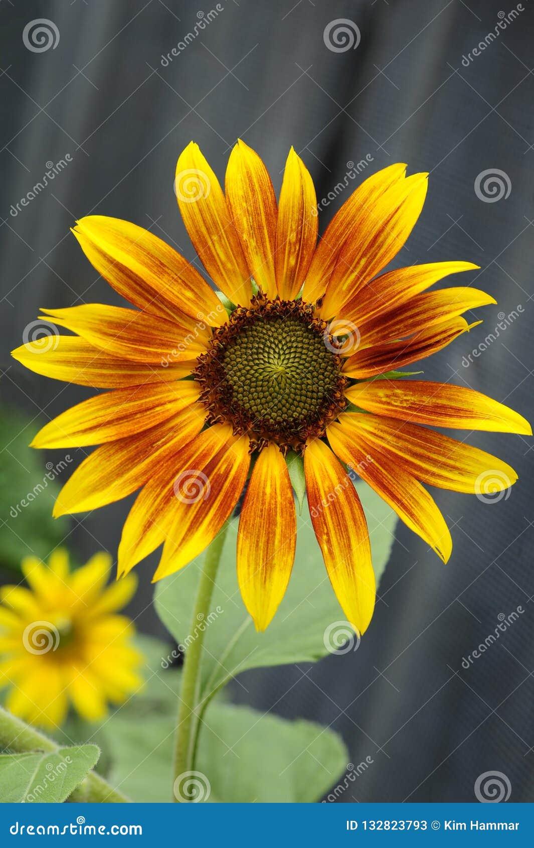 En öppen solros innehåller gula och bruna kronblad som cirklar en diskett av frö