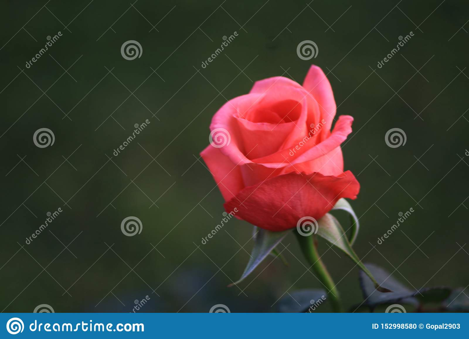 En annan härlig rosa knopp som är klar att blomma