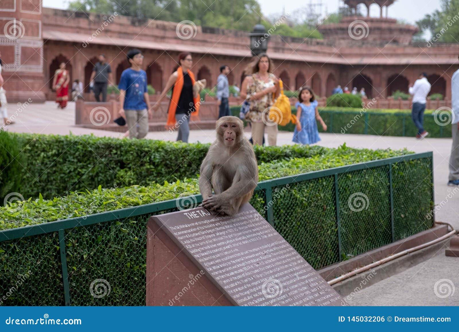 En apa på Taj Mahal sitter överst av ett informativt tecken
