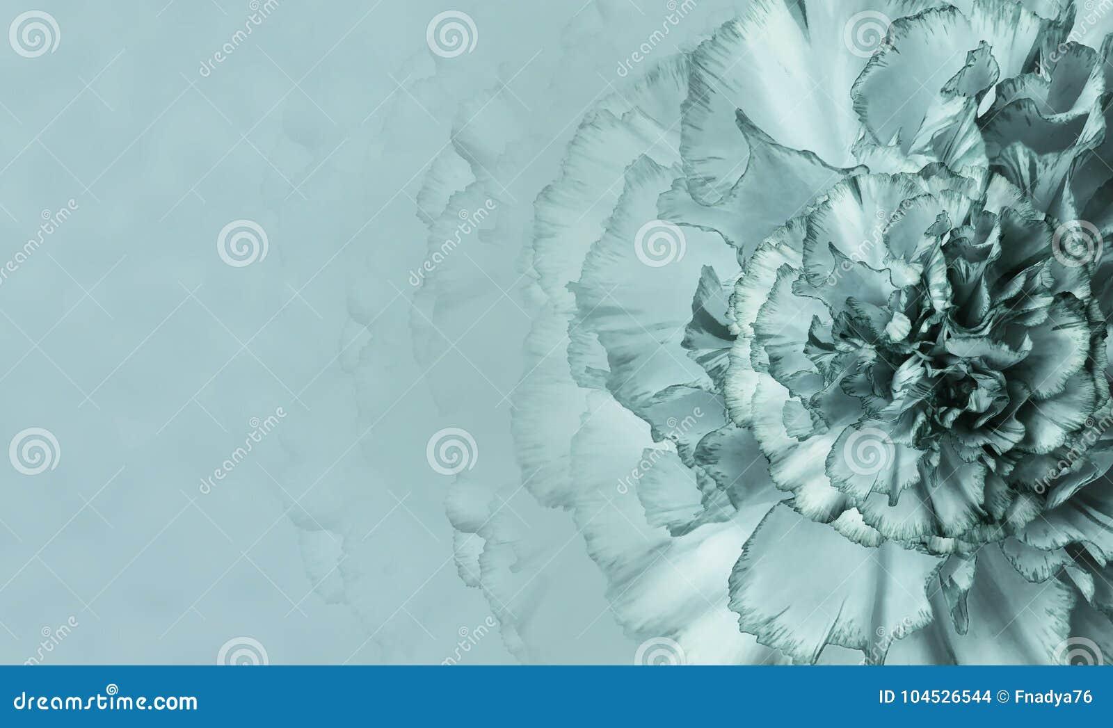 En blomma av envit nejlika på en monophonic bakgrund för turkos Närbild Blom- bakgrund för en vykort