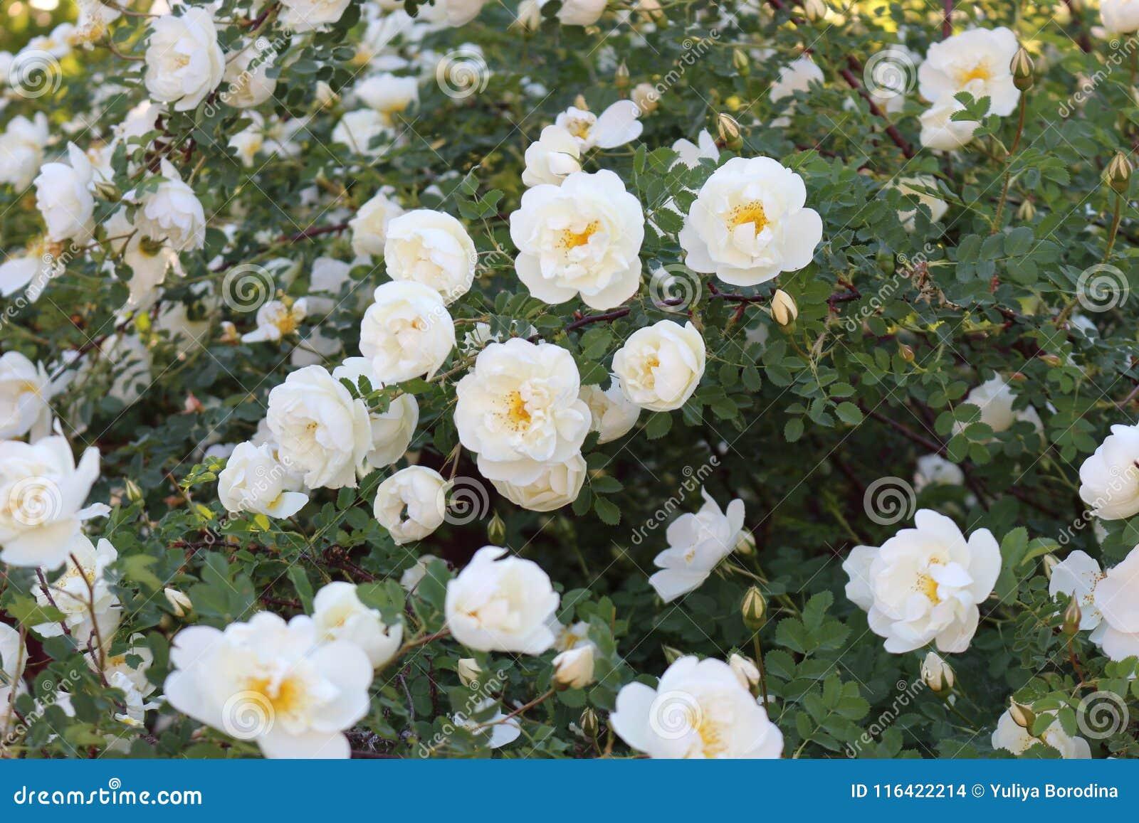 En blomma rosa buske Det täckas med vita blommor