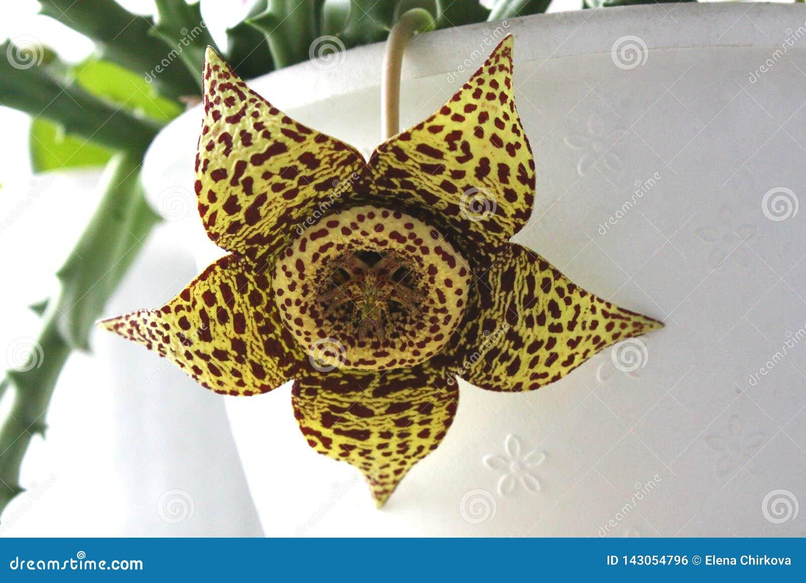En blomstra blomma av en stapelia på bakgrunden av en vit kruka
