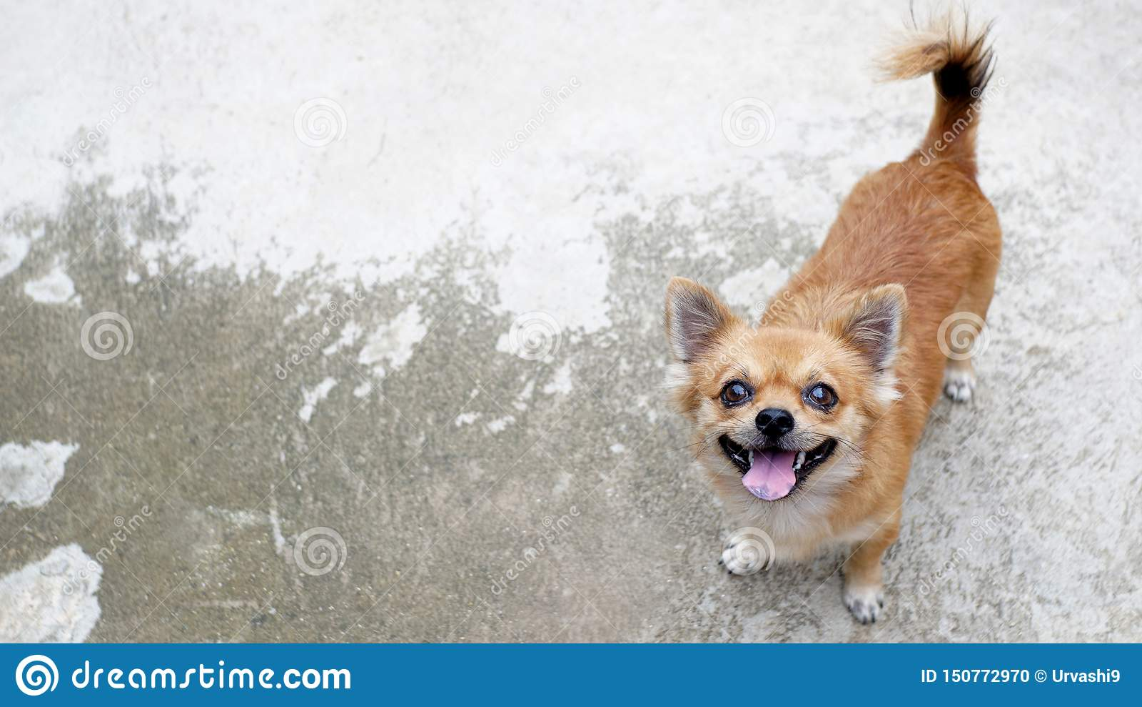 En brun chihuahuahund på konkret golv
