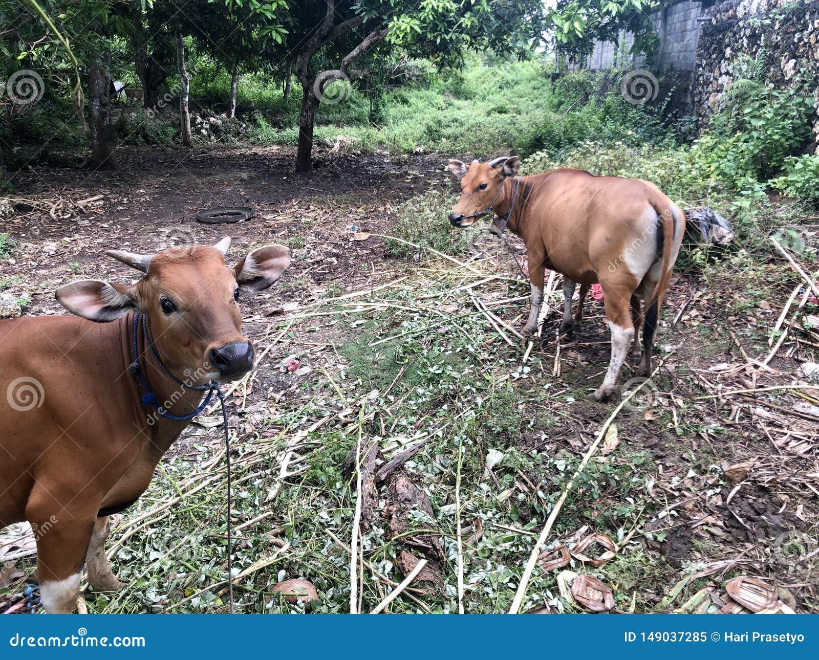 En brun ko ammar dess barn Det är ett av djuren för qurban Eid al-Adha