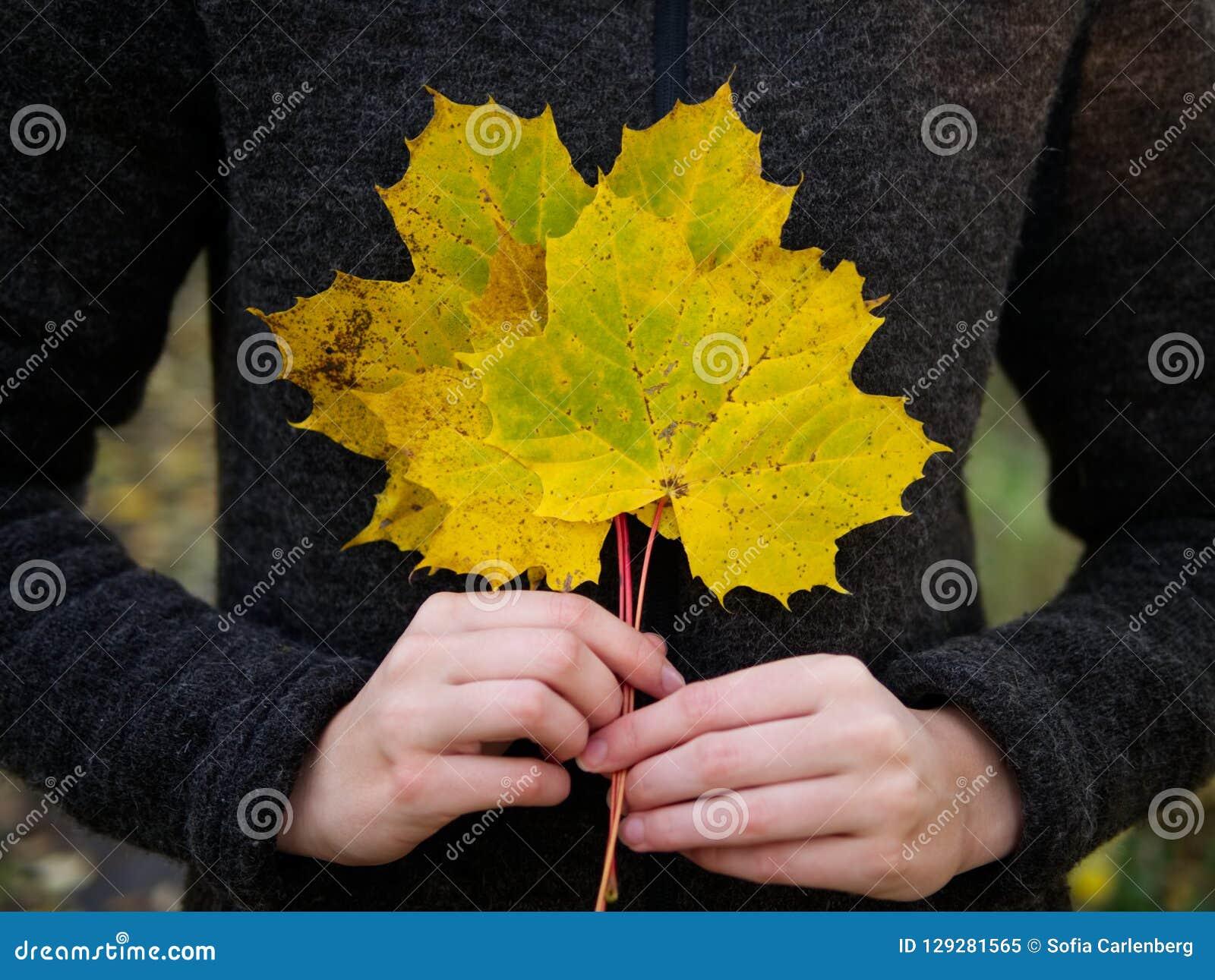 En bukett av gula lönnlöv rymmer vid kvinnliga händer