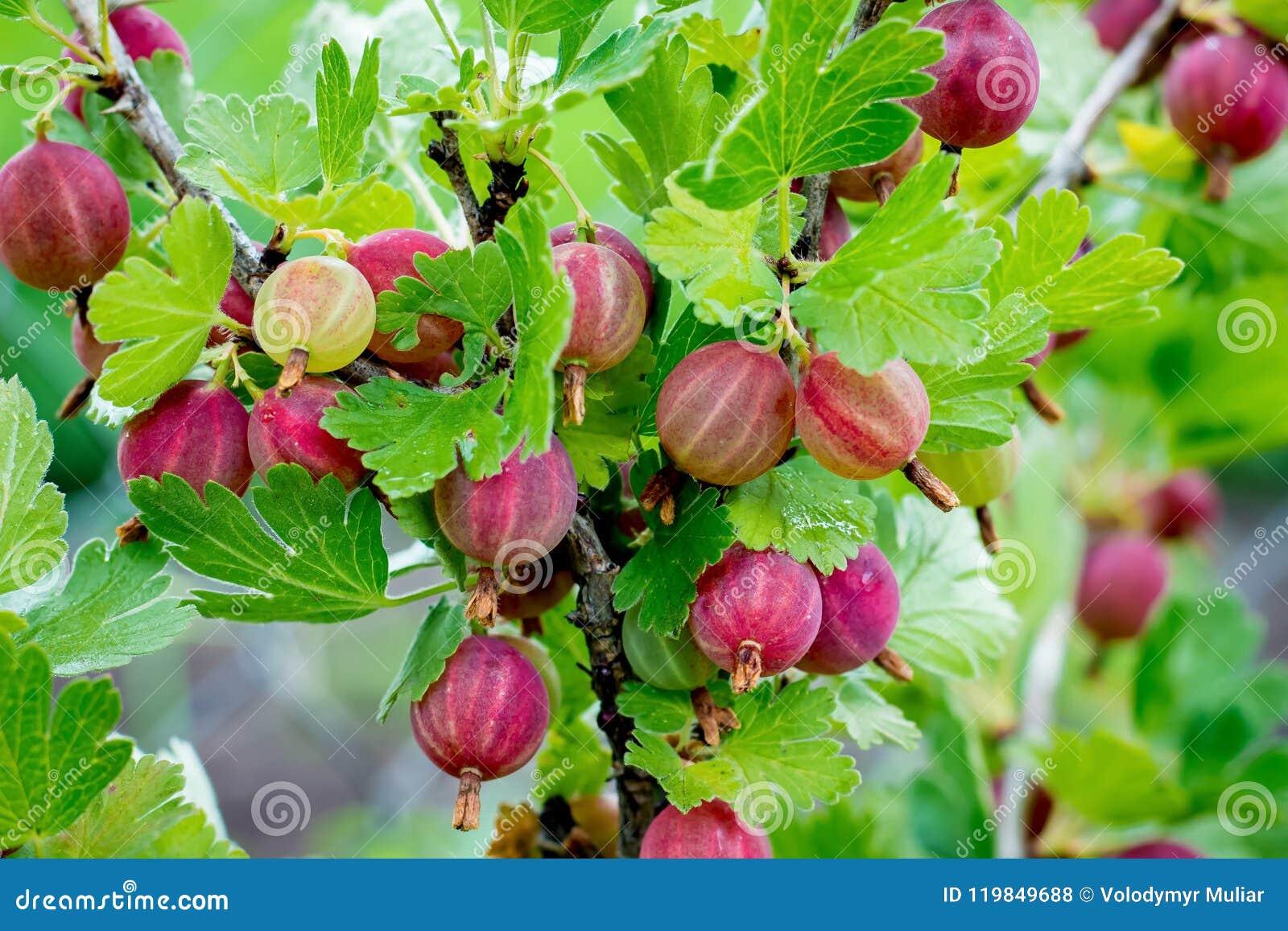 En buske av krusbär med mogna bär Förgrena sig av krusbär