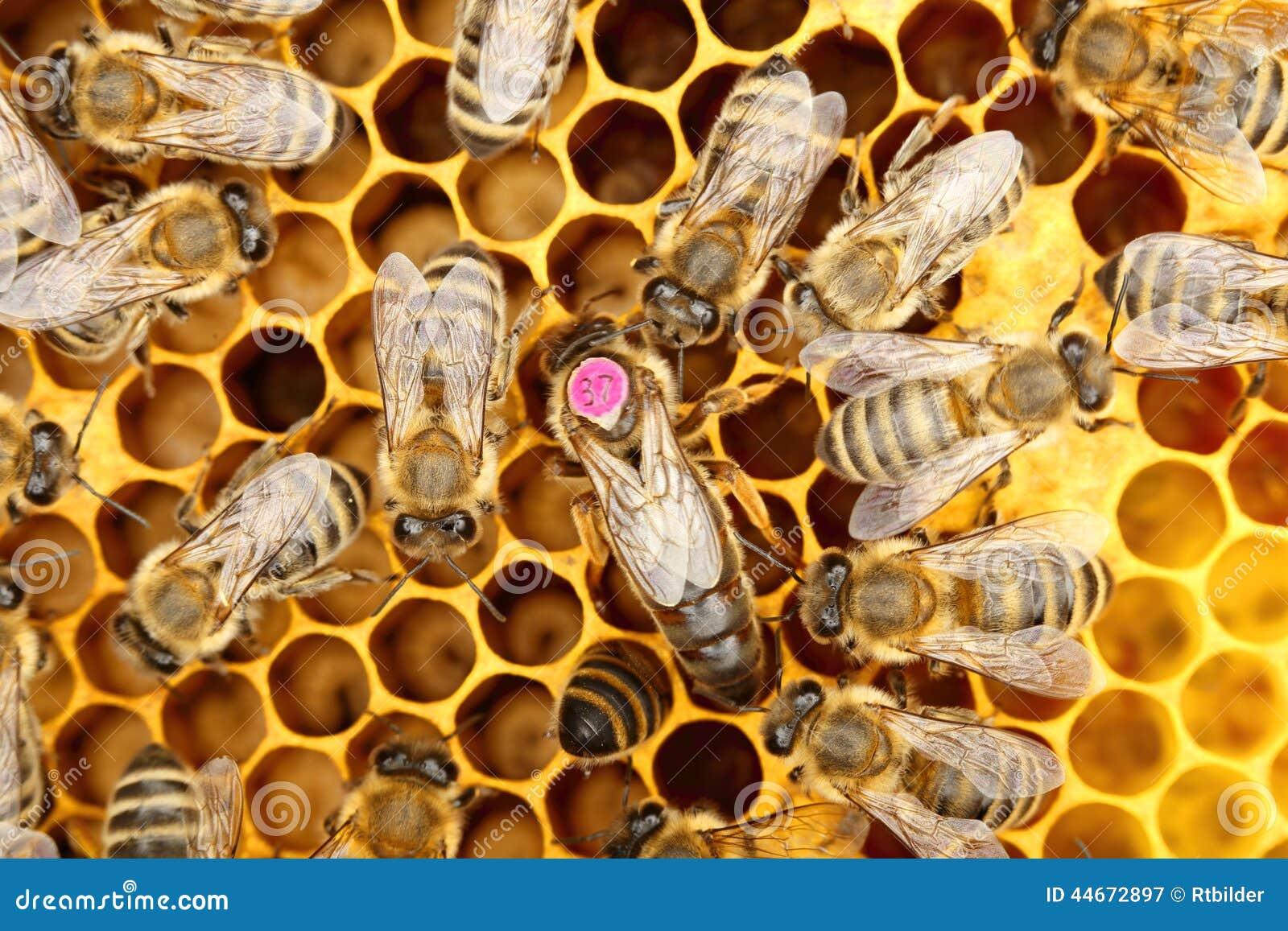 En cirkel av bin med bi-drottningen