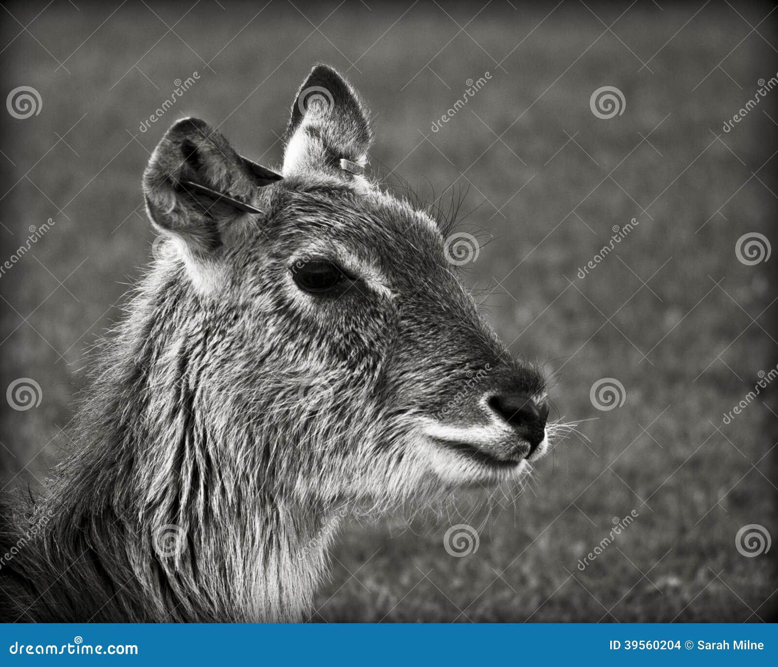 En doe, en hjort