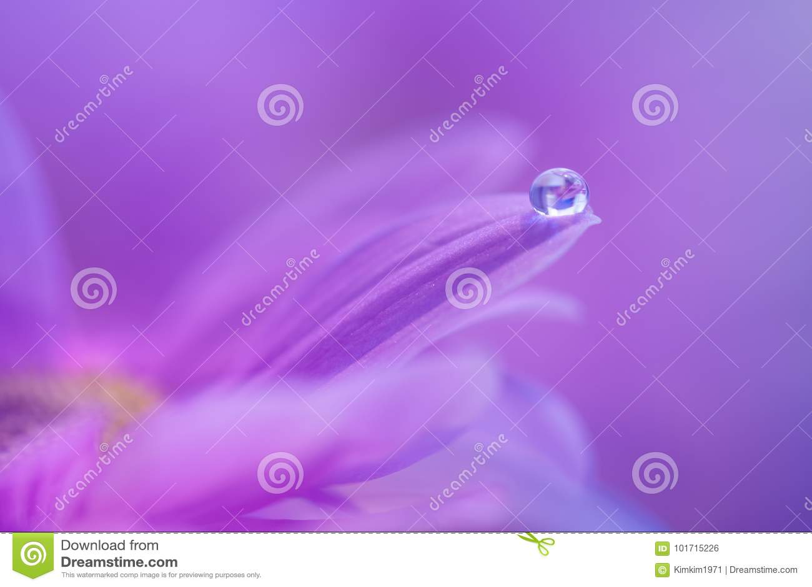 En droppe av dagg på kronbladet av en purpurfärgad blomma Försiktig makro med en mjuk fokus