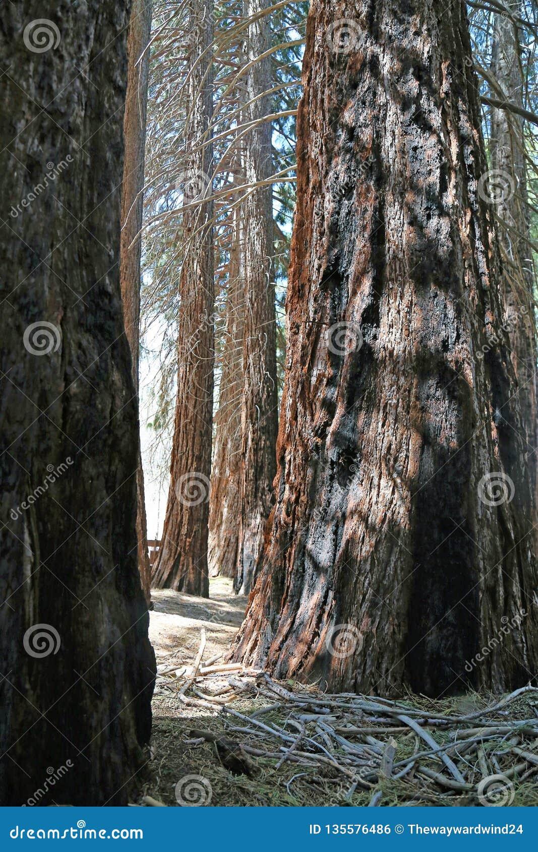 En dunge av den statylika sequoian