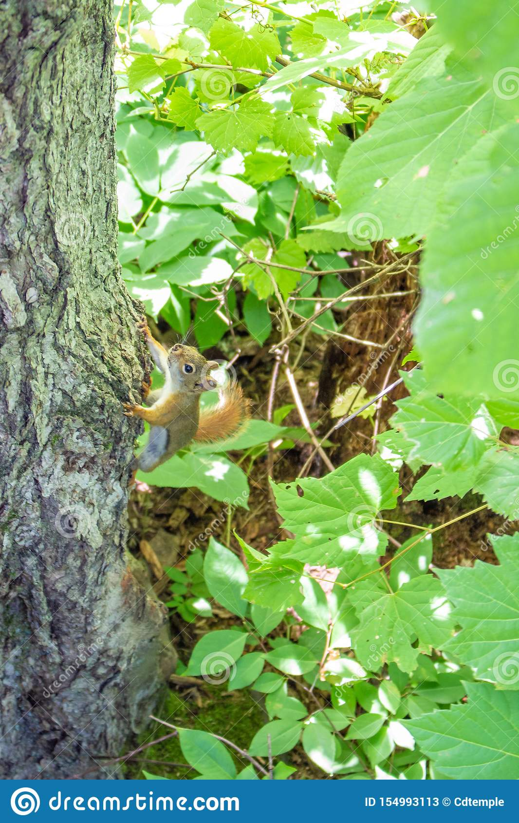 En ekorre klamra sig fast intill en trädstam