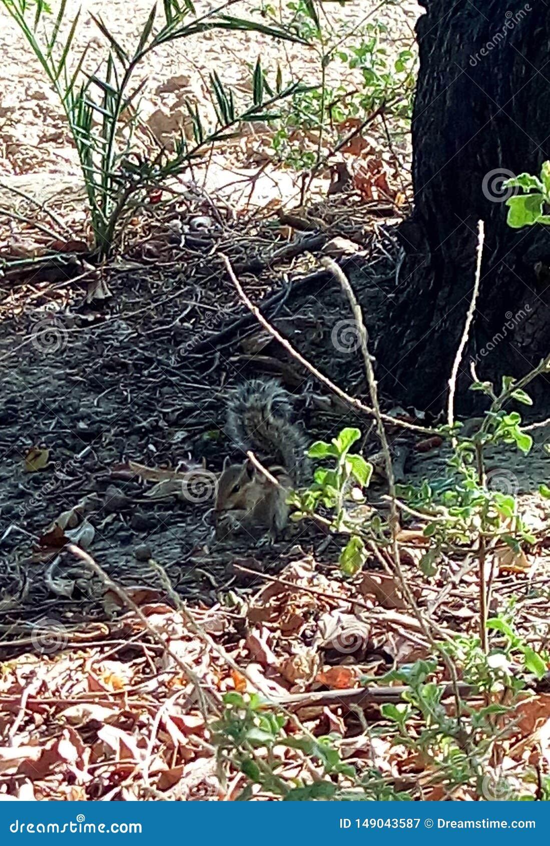 En ekorre som äter muttern i en härlig väg som gör upp hennes svans