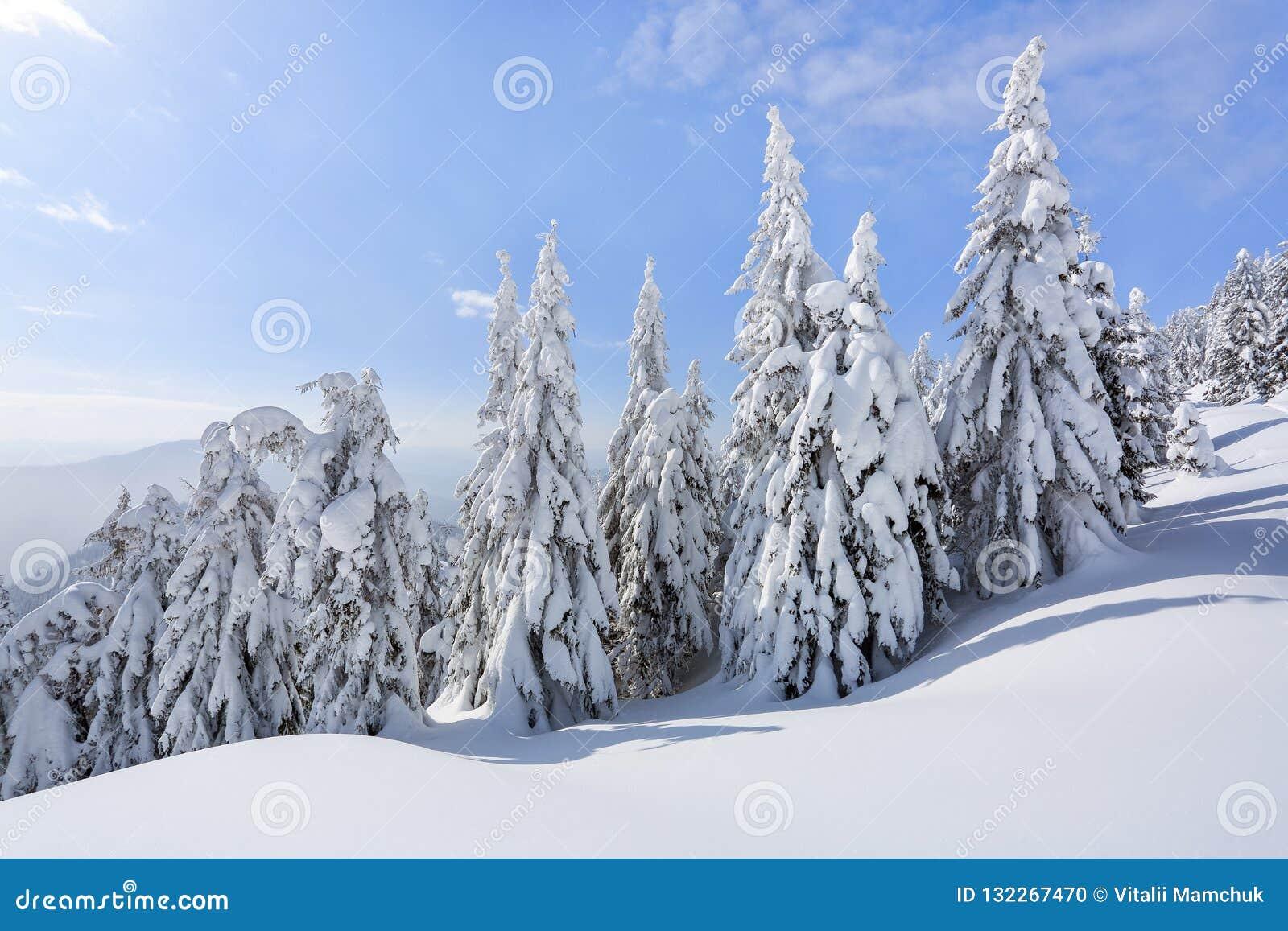 En el césped ancho hay muchos abetos que se colocan debajo de la nieve en el día de invierno escarchado El juego de la luz y de l