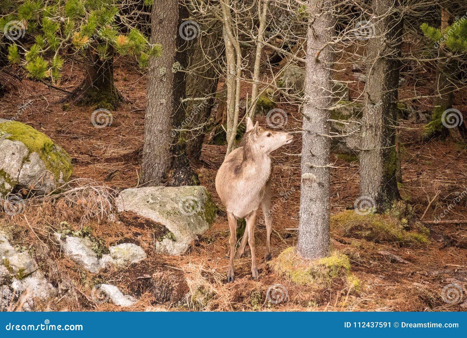 En enkel Cervuselaphus för röda hjortar i en Glencoe skog n de skotska högländerna