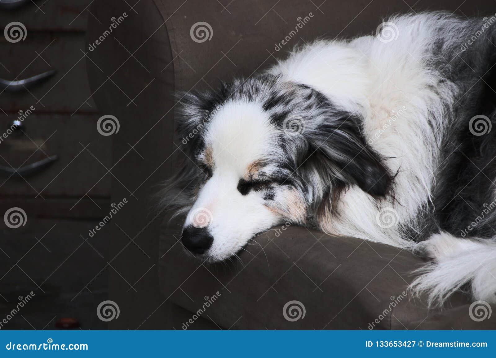 En enkel herdehund