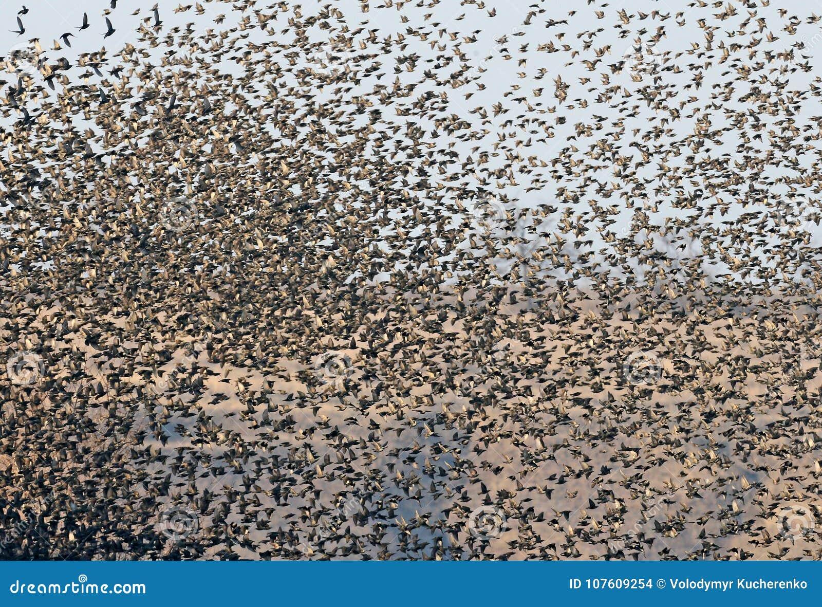 En enorm flock av stare