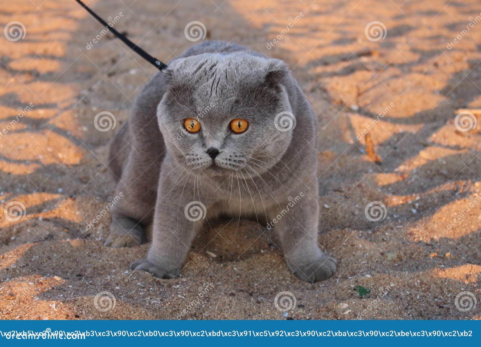 En enorm rökig katt med gula ögon och en krage