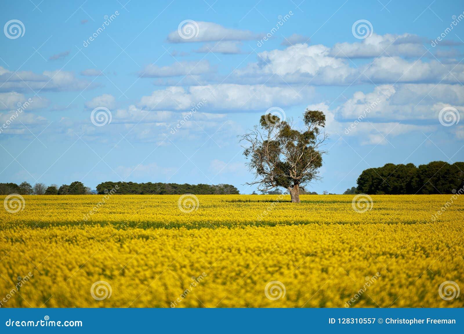 En ensam eukalyptuseukalyptusträd i mitt av ett canolaskördfält på en ljus vårdag under en blå himmel med försiktiga vita moln