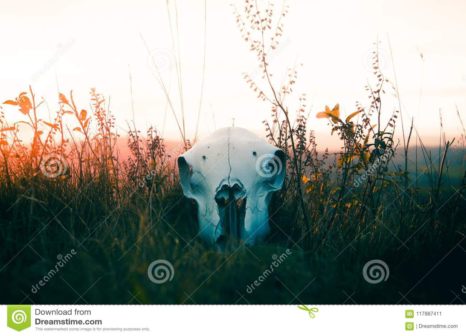 En fårskalle som ligger i gräs på solnedgången