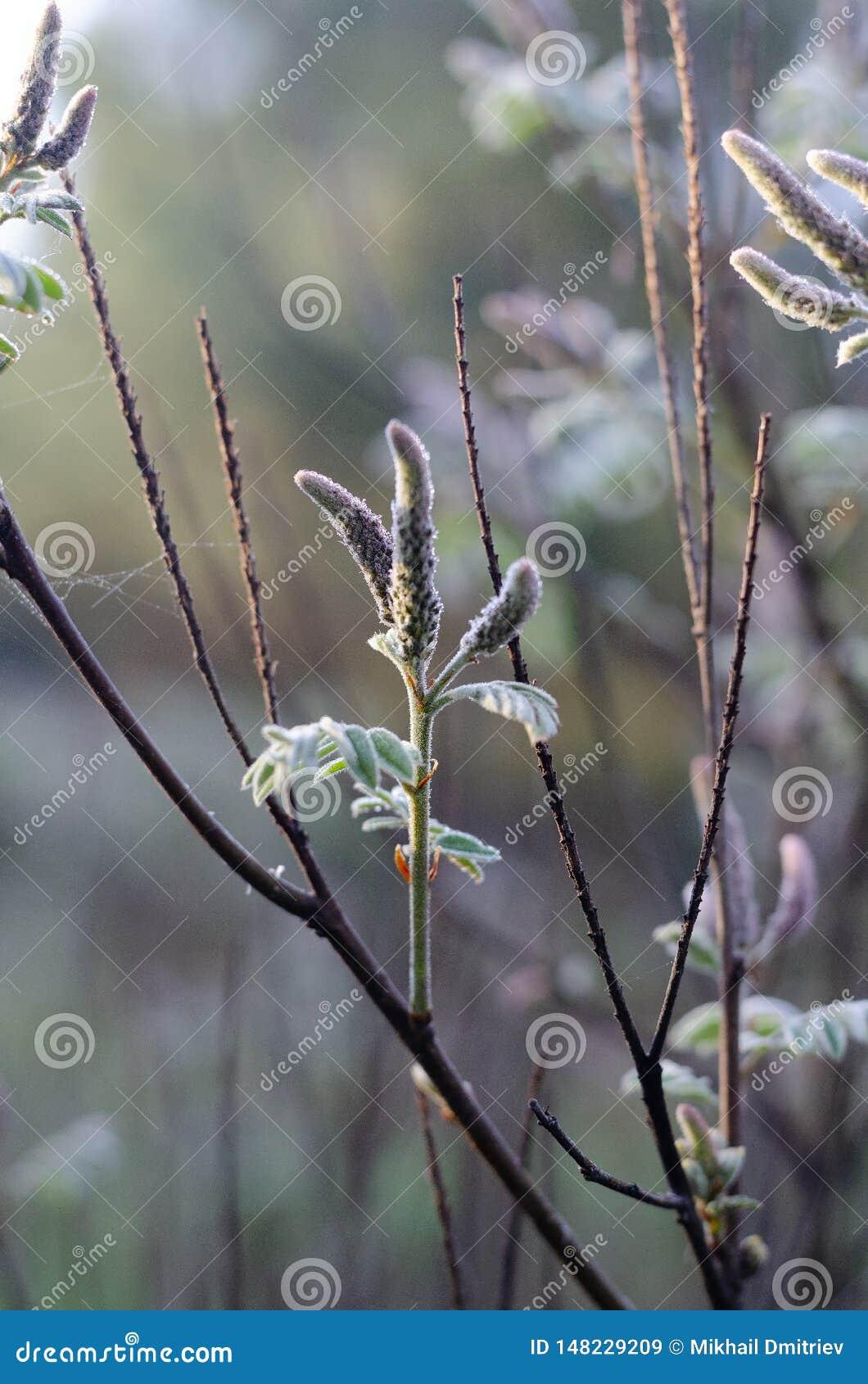 En filial av ett träd med knoppar och spindelnät i skogen