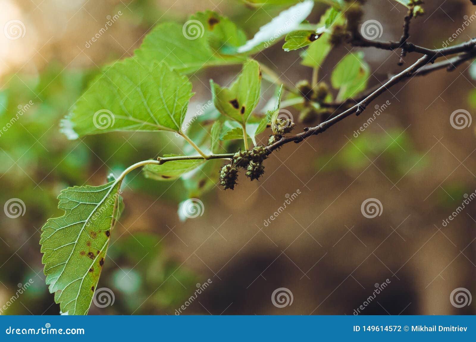 En filial av mullb?rstr?det eller Tutoviken med gr?na frukter