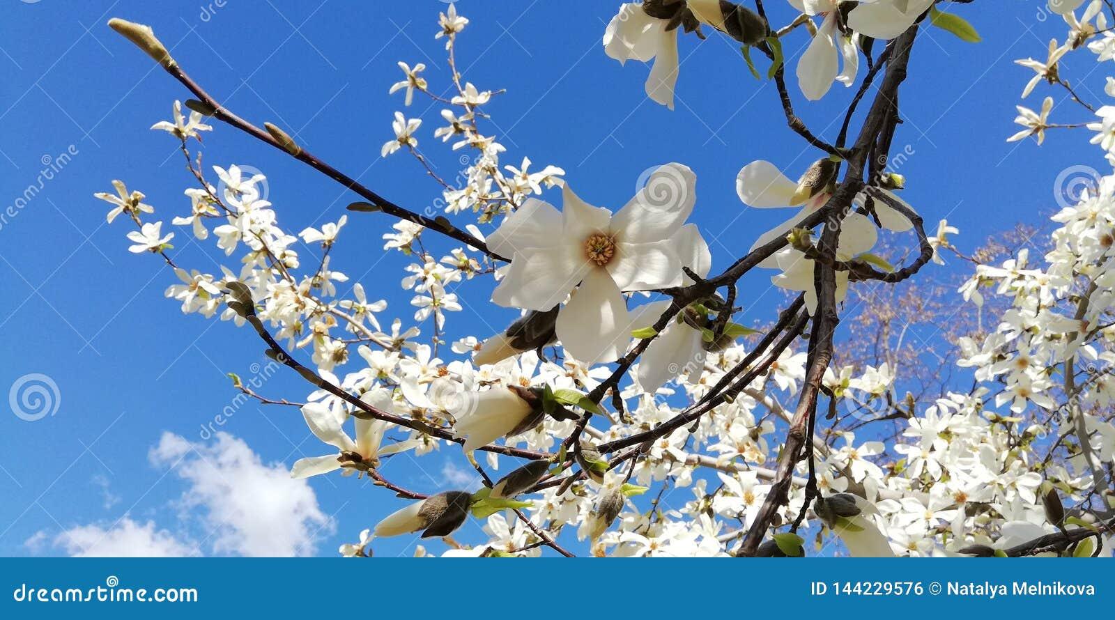 En filial med härliga blommor av magnolian mot den blåa himlen