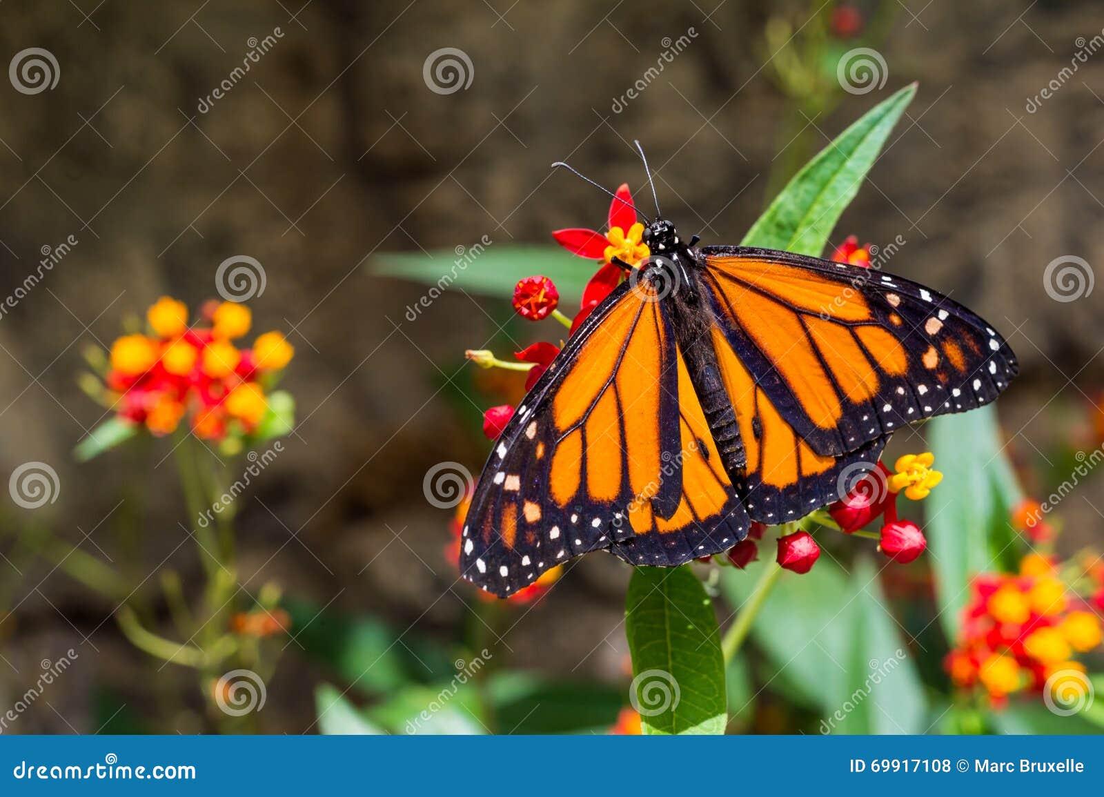 En fjäril för manlig monark