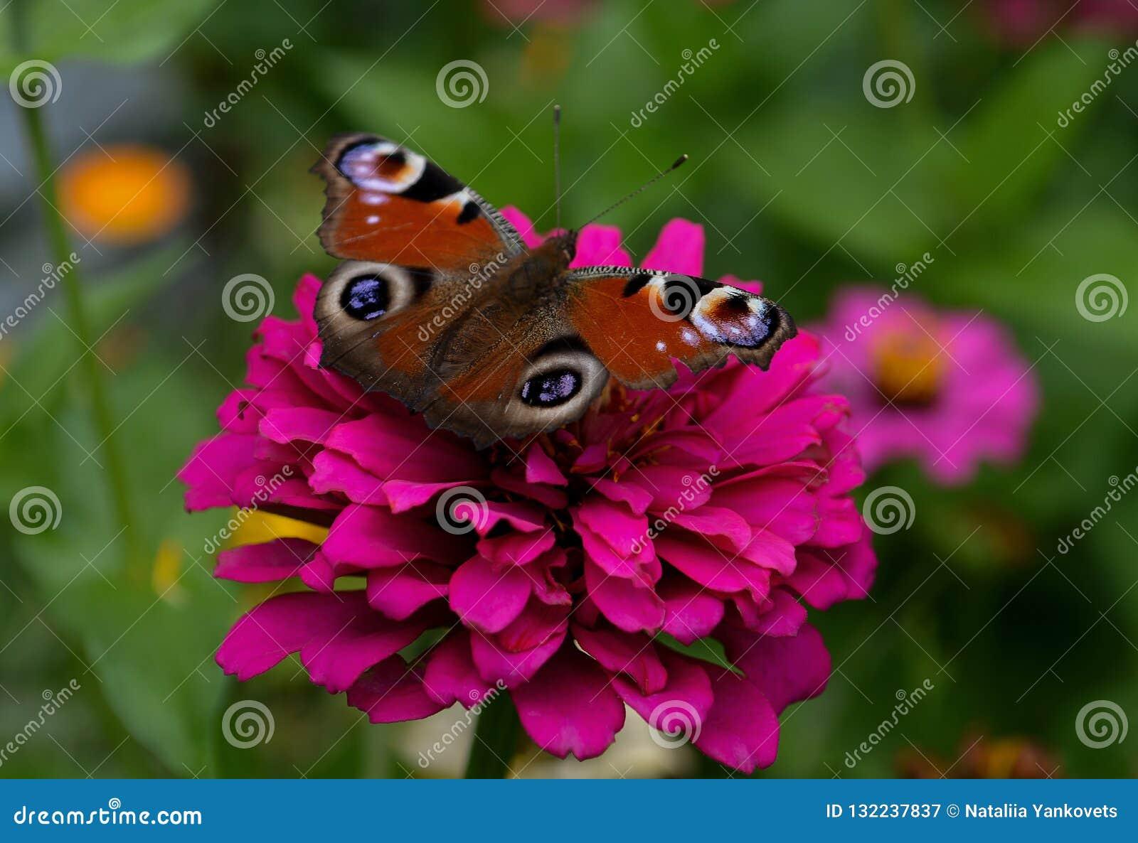 En fjäril med en härlig ljus färg sitter på en rosa blomma mot en kulör bakgrund av en trädgård