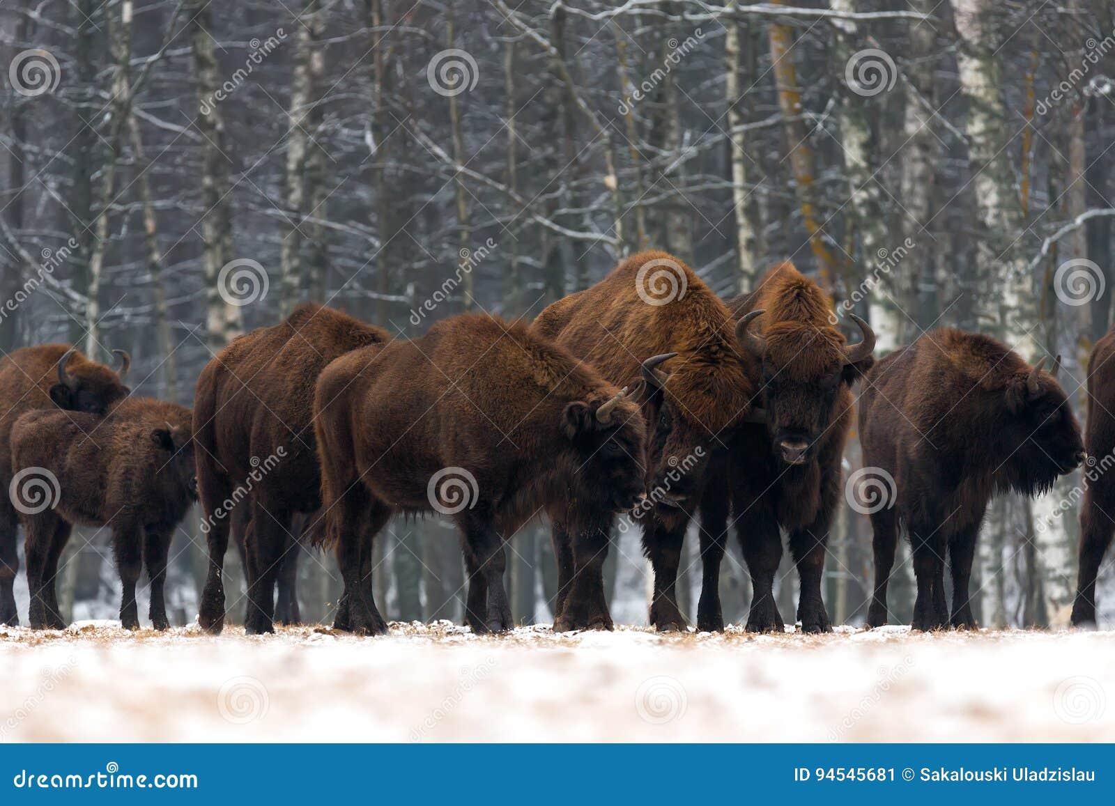 En flock av aurochsanseendet på vinterfältet flera stor brun bison på skogbakgrunden Några tjurar med stora horn på th