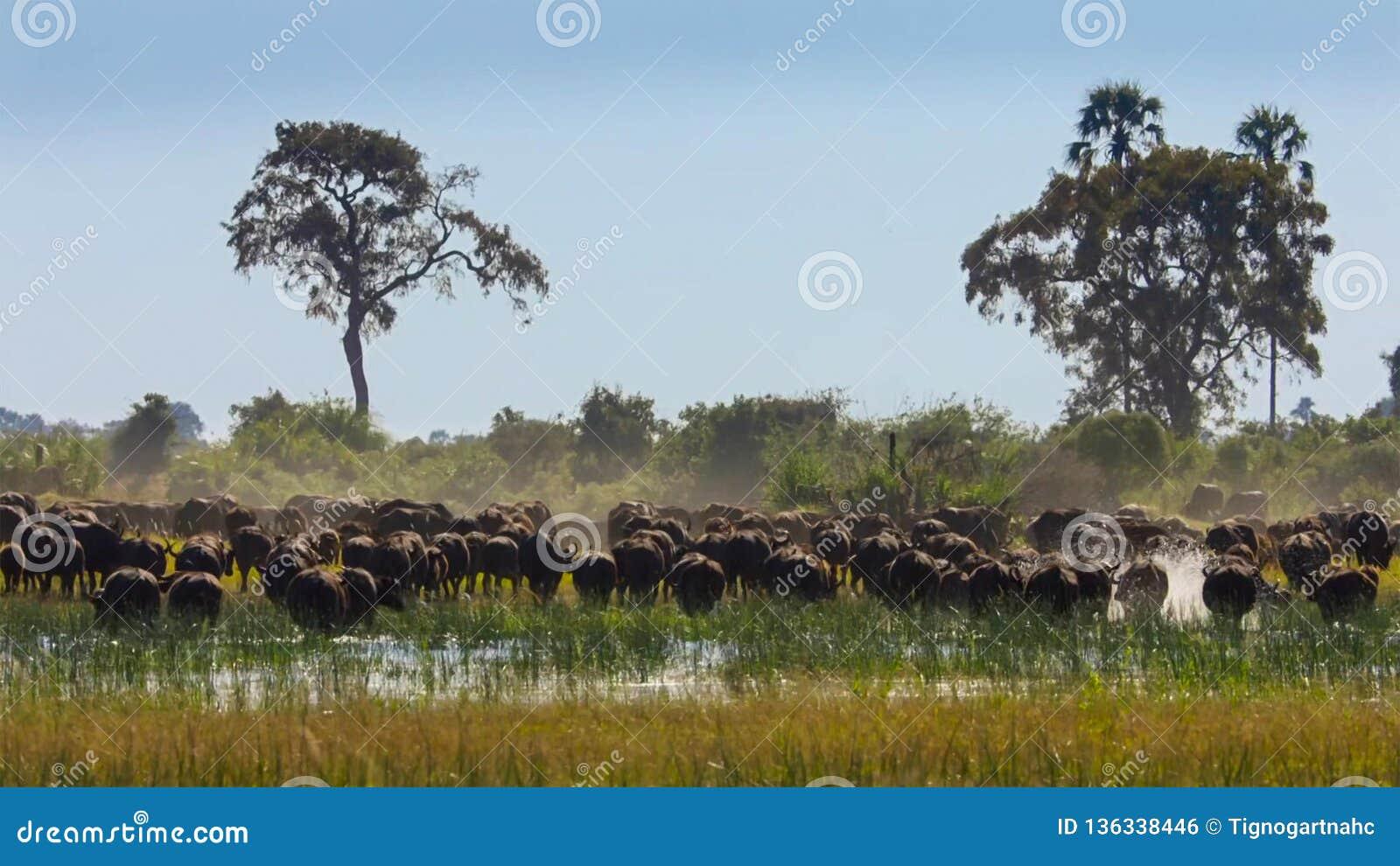 En flock av buffeln som betar på ett bevattna hål, Okavango deltaOkavango grässlätt, Botswana, Söder-västra Afrika