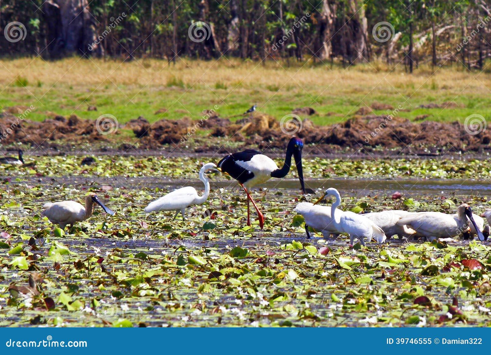 En flock av fåglar i den Kakadu nationalparken