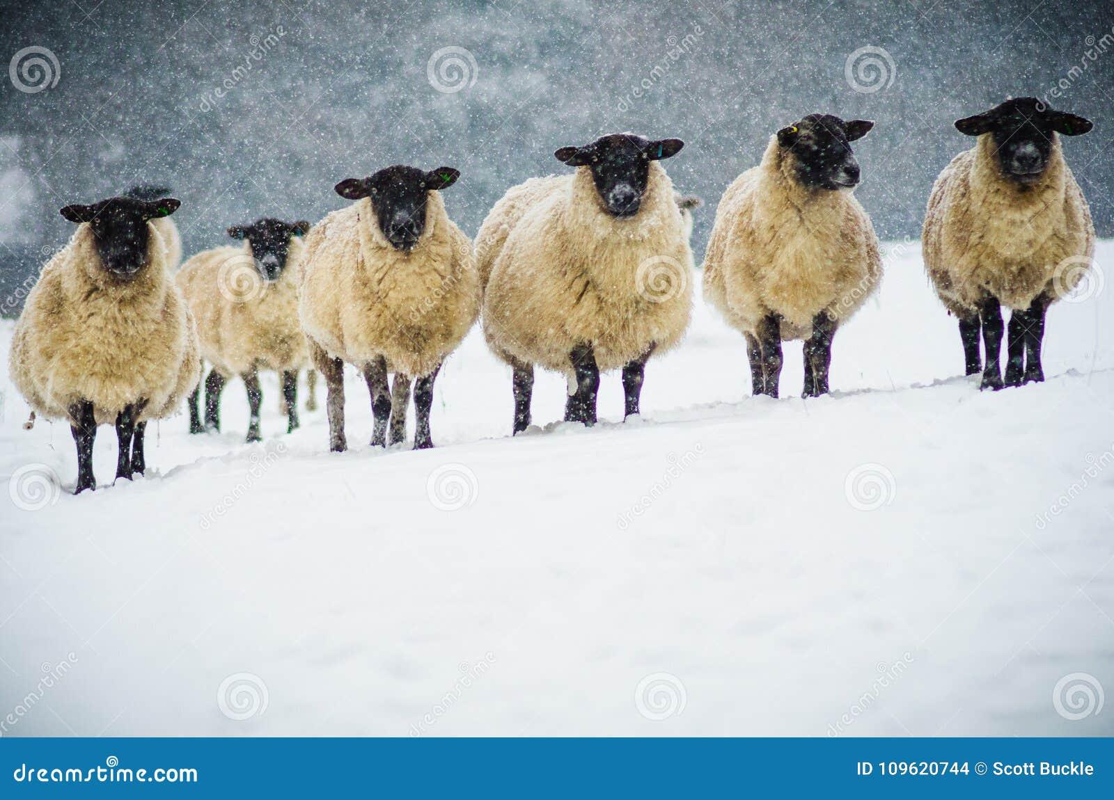 En flock av får i snön