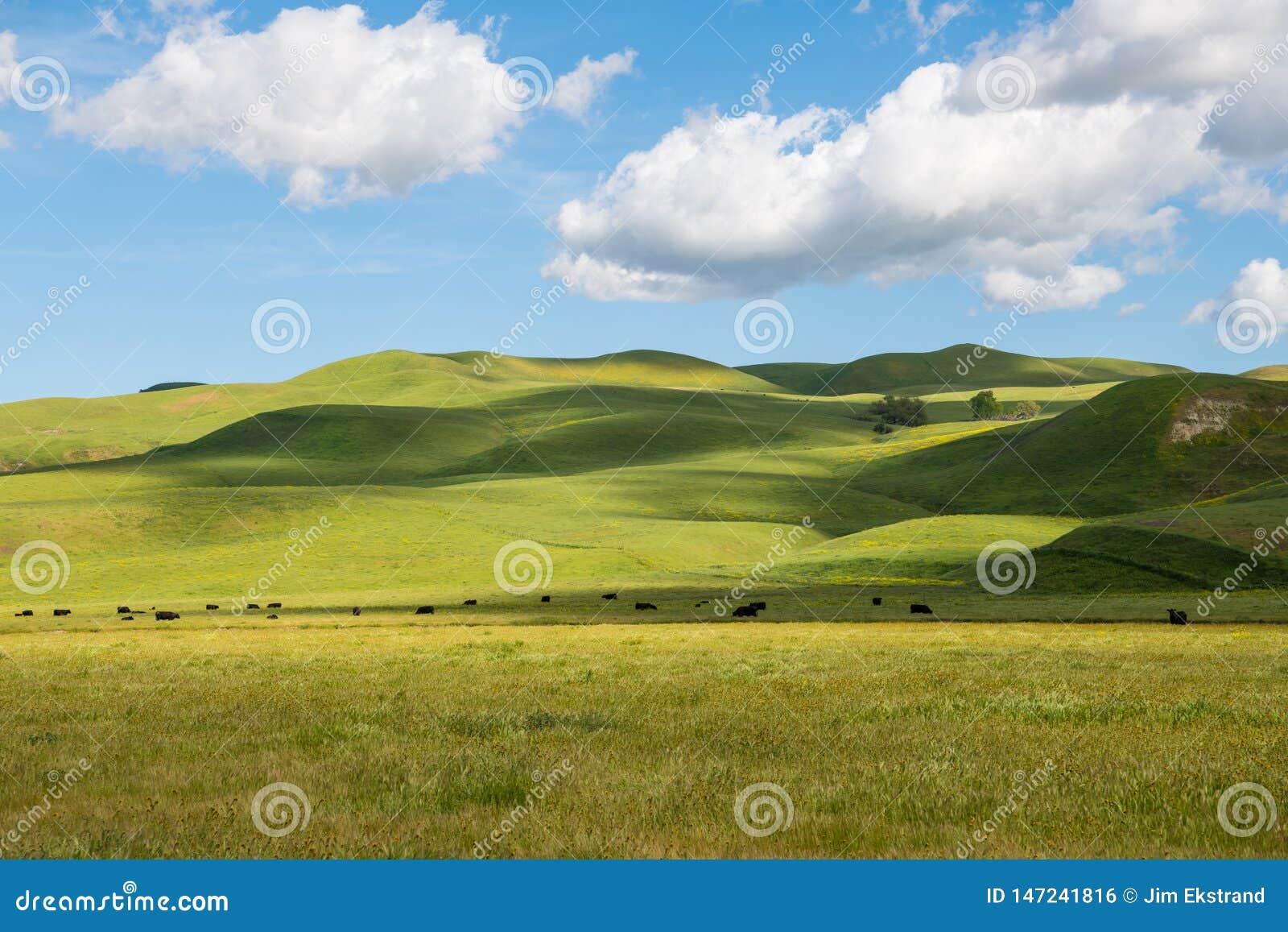 En flock av nötkreatur som betar i sol-fläckiga frodiga gröna grässlättar och Rolling Hills under en härlig blå himmel med pösiga