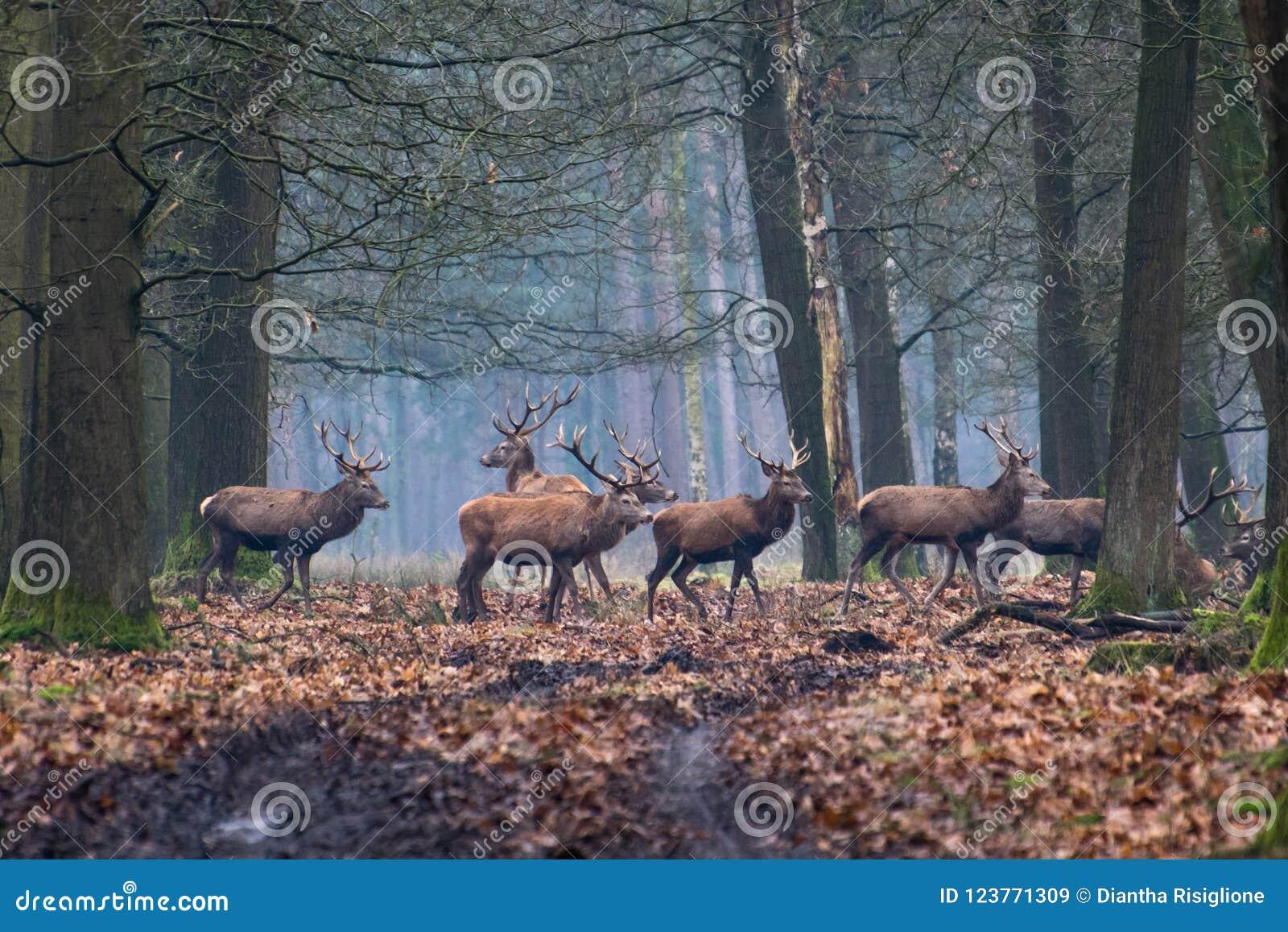 En flock av röda hjortar