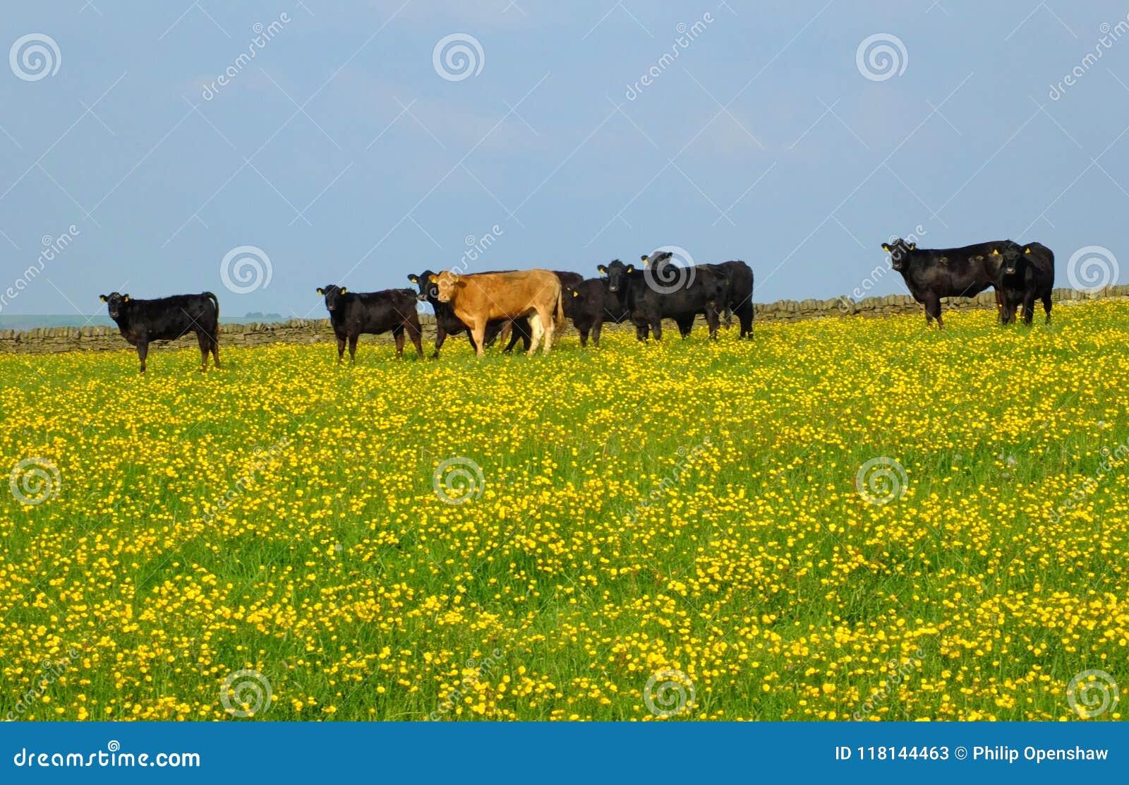En flock av unga kor som frazing i en våräng kan in med ljusa gula blommor i gräset och den blåa himlen