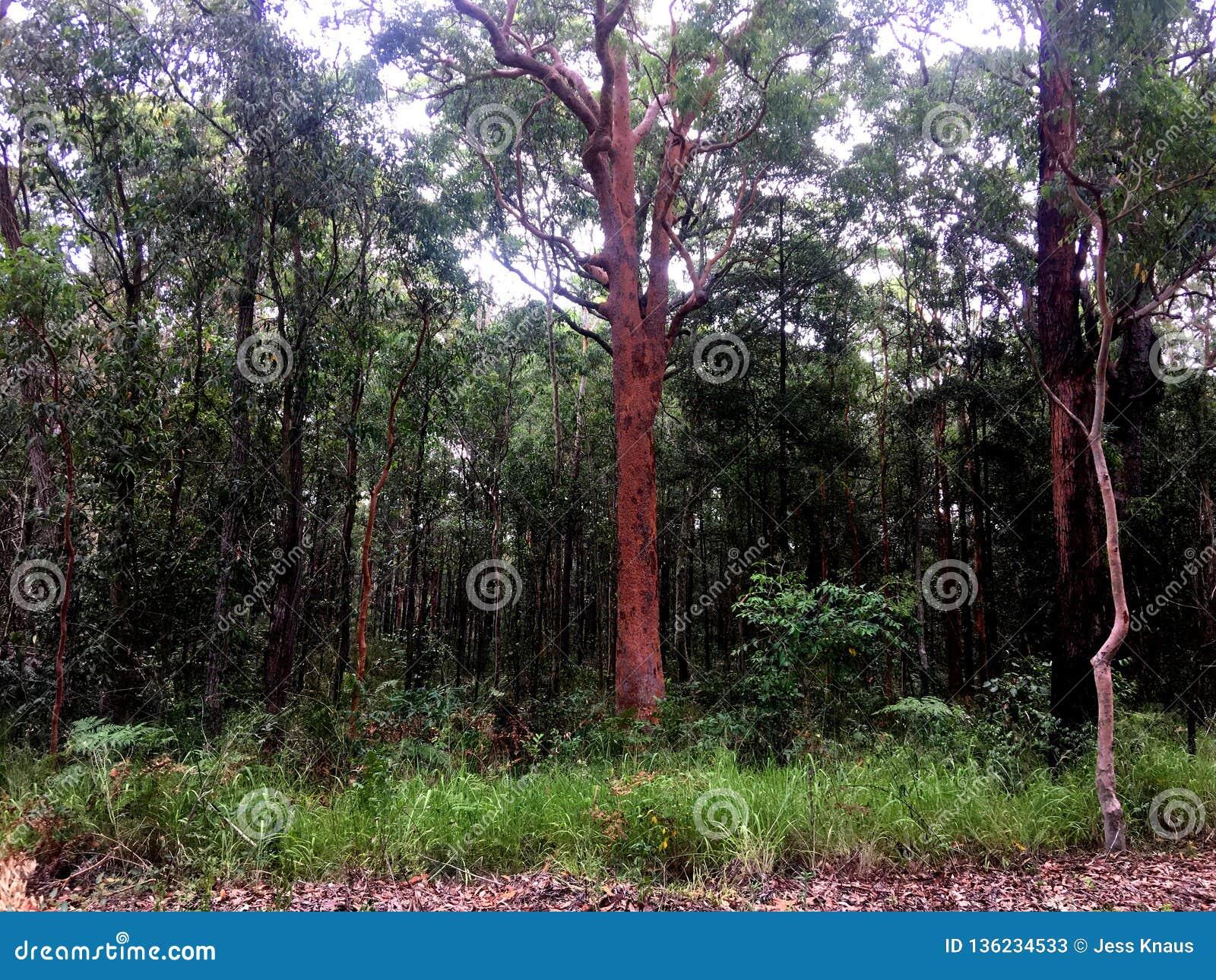 En frodig högväxt australisk bushland