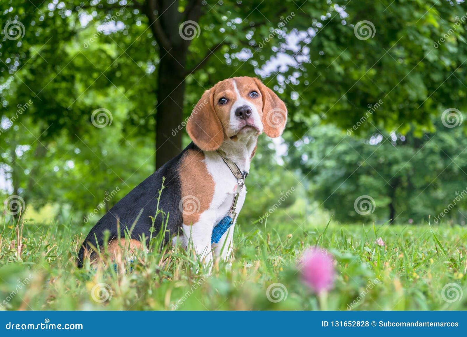 En fundersam beaglevalp med en blå koppel på en gå i en stad parkerar Stående av en trevlig valp